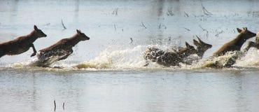 Le Cervus Nippon de troupeau saute par-dessus la rivière image stock