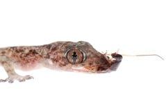 Le chéri de Gecko mangent le gardon d'isolement image libre de droits