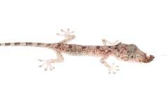 Le chéri de Gecko mangent le gardon d'isolement photos stock