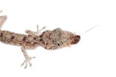 Le chéri de Gecko mangent le gardon d'isolement photos libres de droits