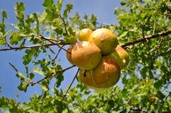 Le chêne écorche #2 Photos libres de droits