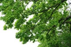 Le chêne Image stock