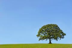 Le chêne antique en été Photo stock
