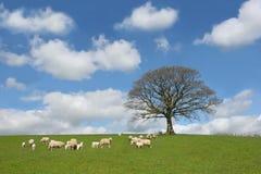 Le chêne au printemps Image stock