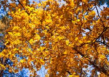 Le chêne d'automne avec le jaune part contre le ciel bleu Photographie stock