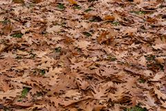 Le chêne d'automne part du fond images libres de droits