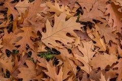 Le chêne d'automne part du fond photo stock