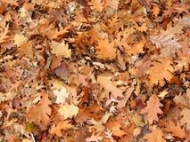 Le chêne d'automne part du fond images stock