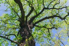 Le chêne dans les rayons du soleil photos stock