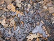 Le chêne de forêt d'automne part sous la vue supérieure de glace Image libre de droits