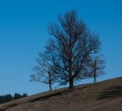 Le chêne de mère essaye de protéger ses chênes de deux bébés contre l'hiver Image stock