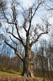 Le chêne de Maksym Zalizniak dans le légendaire Images stock