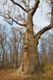 Le chêne de Maksym Zalizniak dans le légendaire Photographie stock