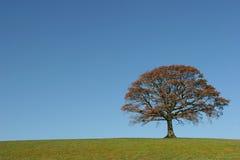 Le chêne en automne photographie stock libre de droits