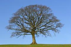 Le chêne en hiver Image libre de droits