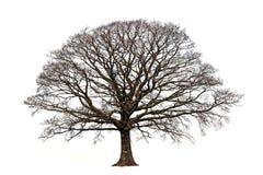 Le chêne en hiver photo stock