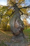 Le chêne est malade Image libre de droits