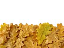 Le chêne laisse le cadre Photo libre de droits