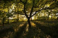 Le chêne magique qui se développe dans le bois Image libre de droits