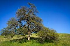 Le chêne majestueux encadre la lune sur le ciel bleu Photos libres de droits