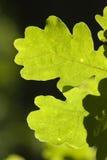 Le chêne part de l'instruction-macro Photographie stock libre de droits