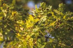 Le chêne part, des chênes, glands, nature, automne images stock