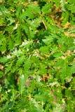 Le chêne part du fond photographie stock libre de droits