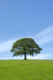 Le chêne puissant photo stock
