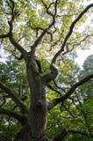 Le chêne puissant image libre de droits