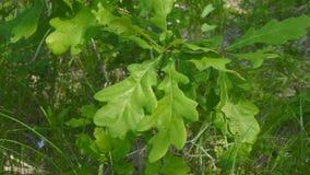 Le chêne vert part sur le jeune arbre banque de vidéos