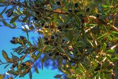 Le chêne vivant du sud photographie stock