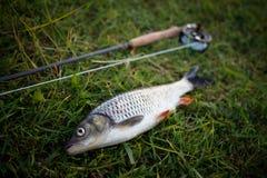 Le chabot de pêche de mouche de pêche se trouve sur l'herbe, attirail pour la pêche de mouche, tige, bobine, flyline Affiche de p Photographie stock