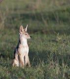 Le chacal à dos noir, mesomelas de Canis, se reposant, chien aiment photo libre de droits