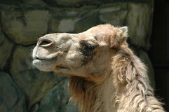 Le chameau Photographie stock