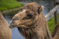 Le chameau Bactrian, bactrianus de Camelus est un grand, égal-botté avec la pointe du pied indigène ongulé aux steppes de l'A photo libre de droits