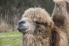 Le chameau Bactrian, bactrianus de Camelus est un grand, égal-botté avec la pointe du pied indigène ongulé aux steppes de l'A images stock