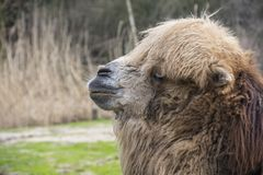 Le chameau Bactrian, bactrianus de Camelus est un grand, égal-botté avec la pointe du pied indigène ongulé aux steppes de l'A image stock