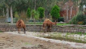 Le chameau d'animaux, peut 2016, Turquie banque de vidéos
