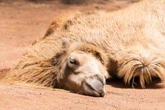 Le chameau de sommeil Photos libres de droits