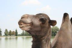 Le chameau de sourire Image stock