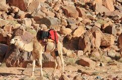 Le chameau est prêt pour le safari Images stock
