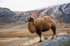 Le chameau fier devant la neige a couvert des montagnes en Mongolie images libres de droits