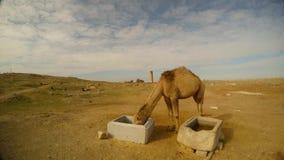 Le chameau mâche, les récipients concrets pour la nourriture, à l'est de la Turquie, frontière avec la Syrie banque de vidéos
