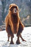 Le chameau marche dans la neige Image libre de droits