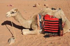 Le chameau se repose Photo stock