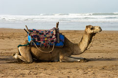 Le chameau se trouve sur la plage Photos stock