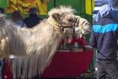 Le chameau two-humped, transports charge par des déserts dans le countr chaud images stock