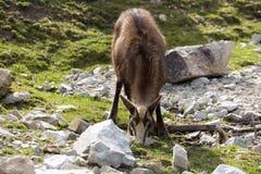 Le chamois alpin, rupicapra de Rupicapra, habite les Alpes européens Image stock