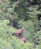 Le chamois avec le chiot fonctionne parmi la haute montagne de roche Images libres de droits