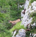 Le chamois avec le chiot s'échappe parmi la haute montagne de roche Image stock